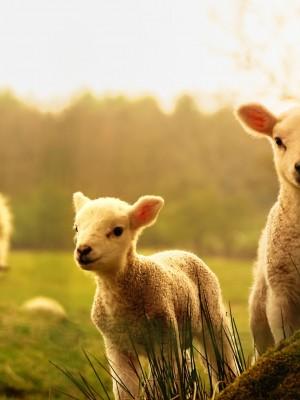 116. Confiança de ovelha